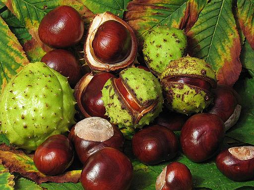 Aesculus_hippocastanum_fruit.jpg