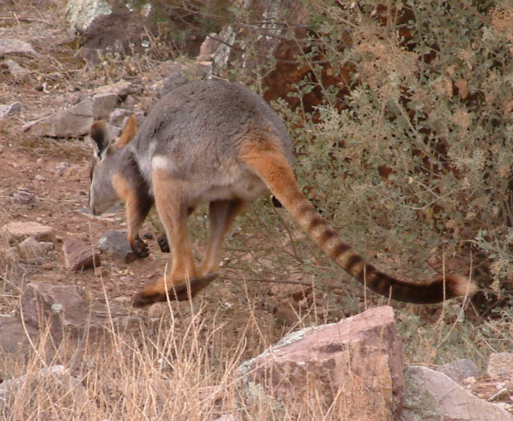 Yellow-footed rock wallaby, Flinders Ranges South Australia