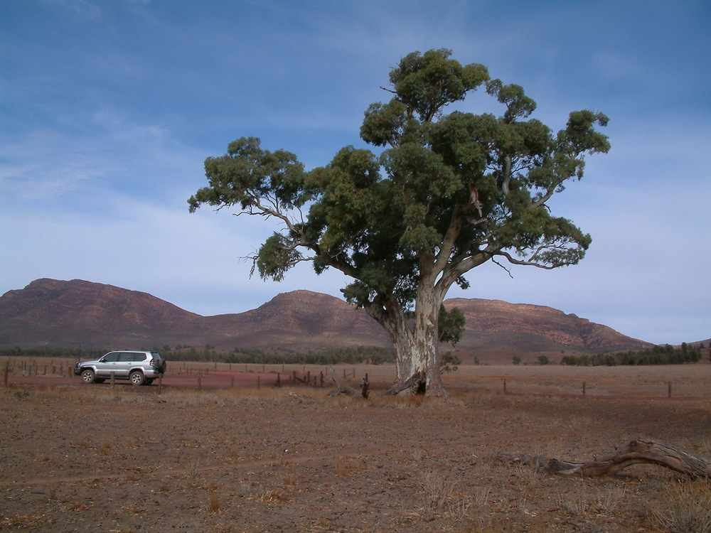 Perseverance Tree Flinders Ranges, South Australia