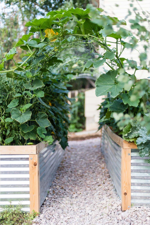 Squash arch in garden