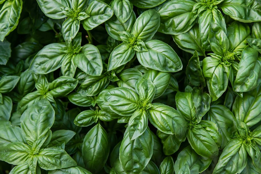 Fresh basil, growing in garden beds