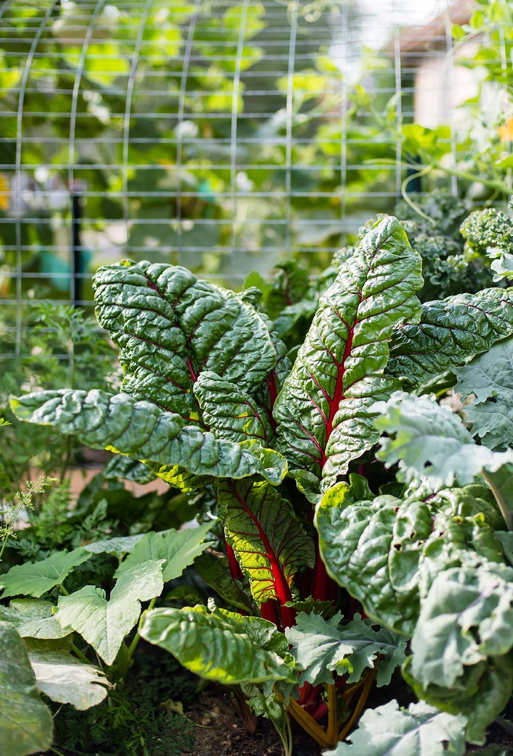 Swiss chard growing in garden bed