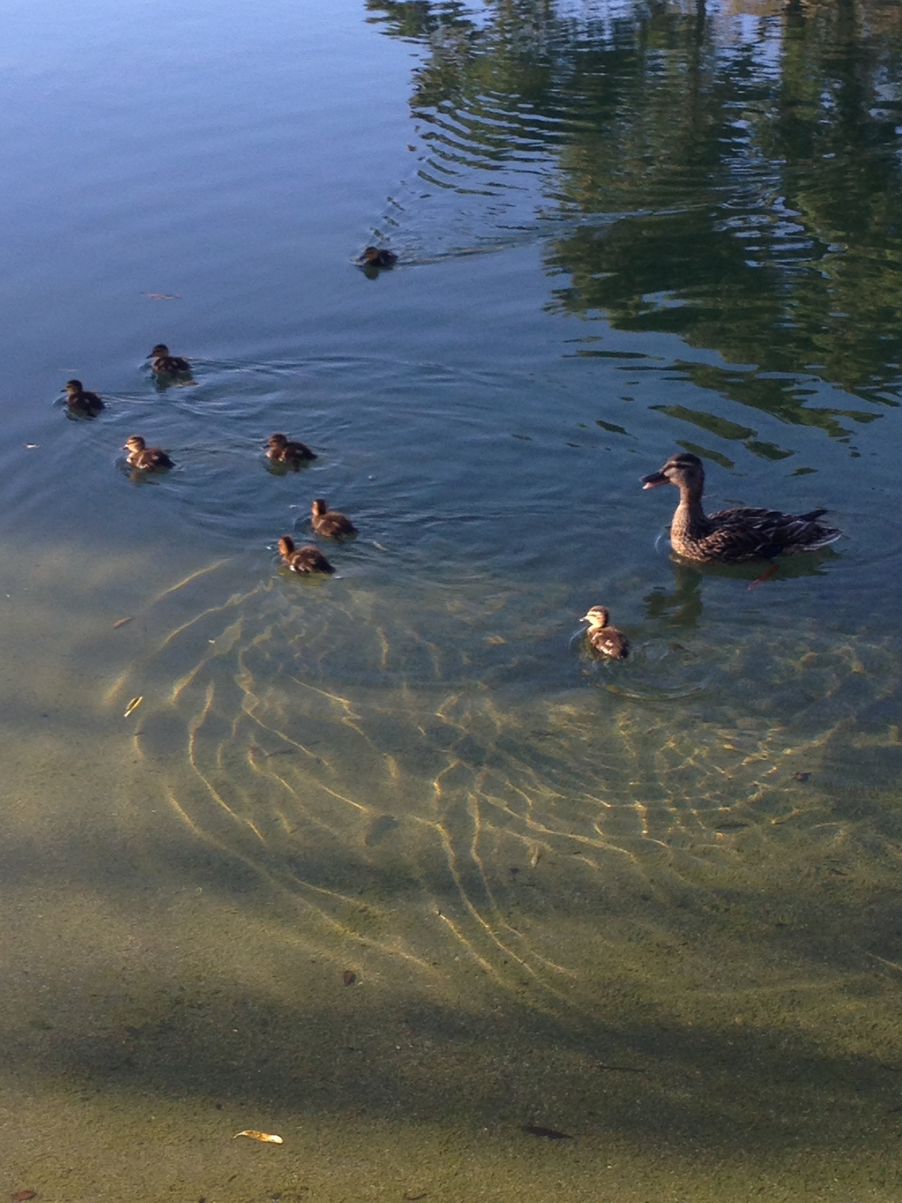 In the Presidio park near our apartment, the ducks had babies! There's ten total, they're adorable.
