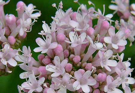 Valerian in bloom. A herbal remedy to calm frazzled nerves and anxiety related to withdrawal from addiction.