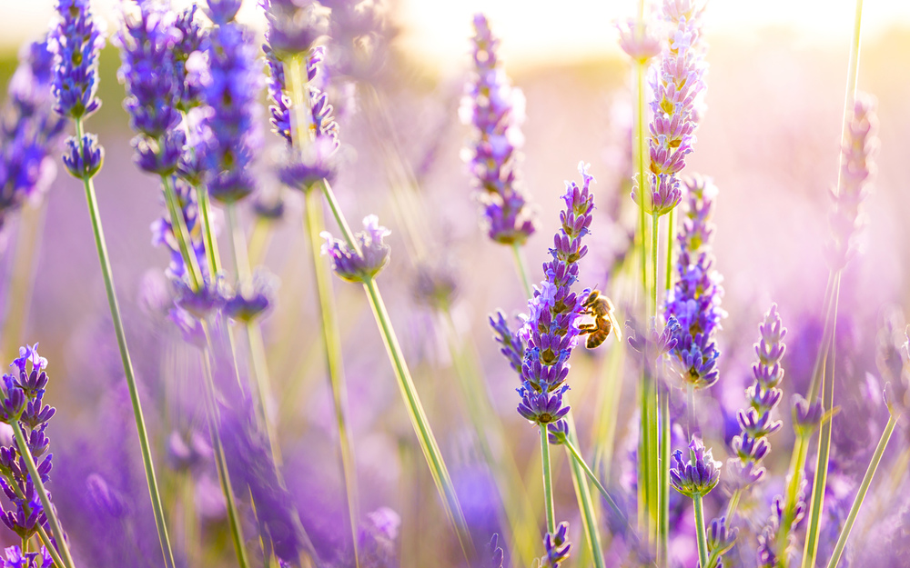 Studies have shown lavender essential oil to be more efficient than conventional anti-anxiety and stress medications.