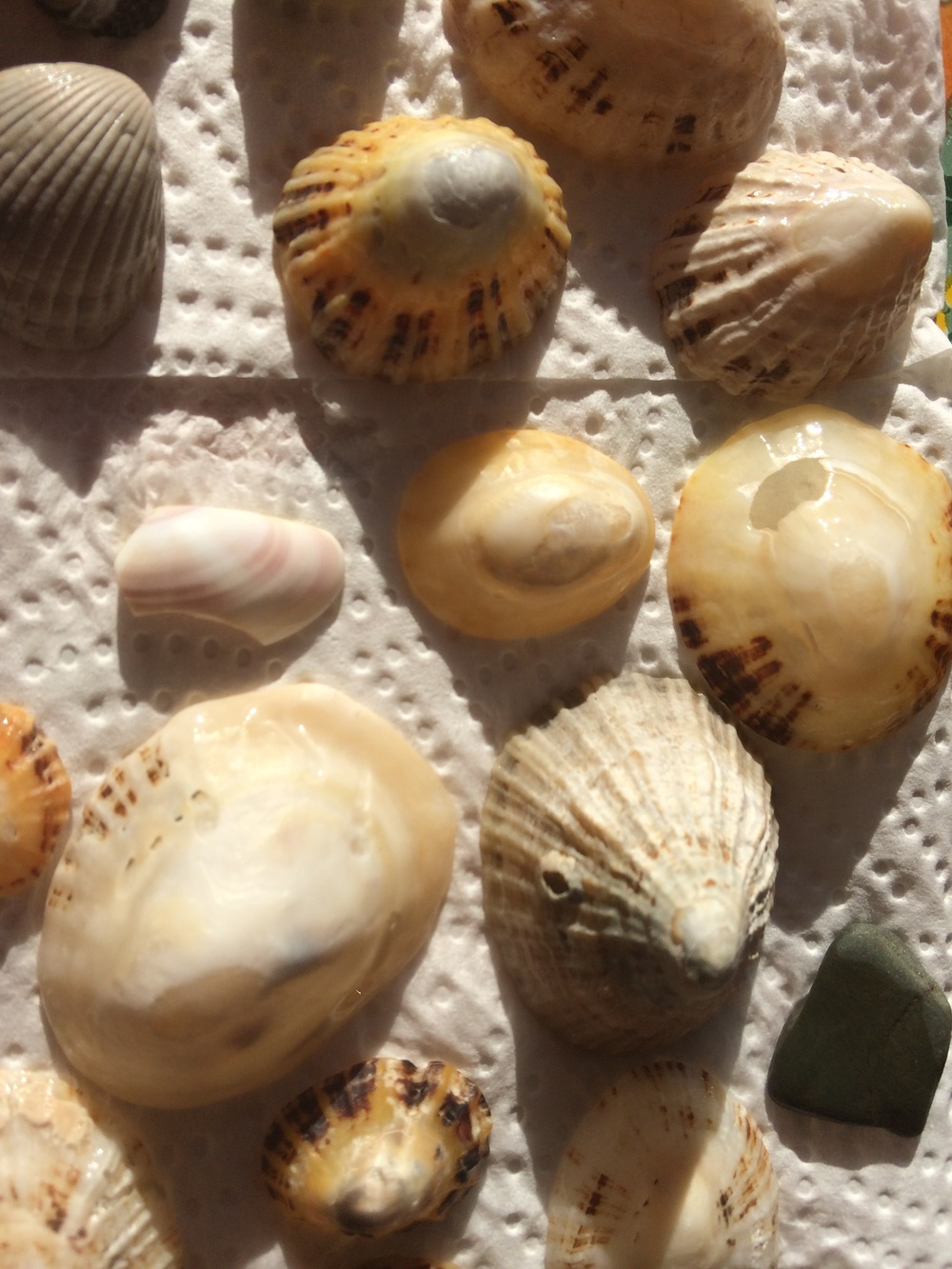 A small part of Hannah's seashell collection