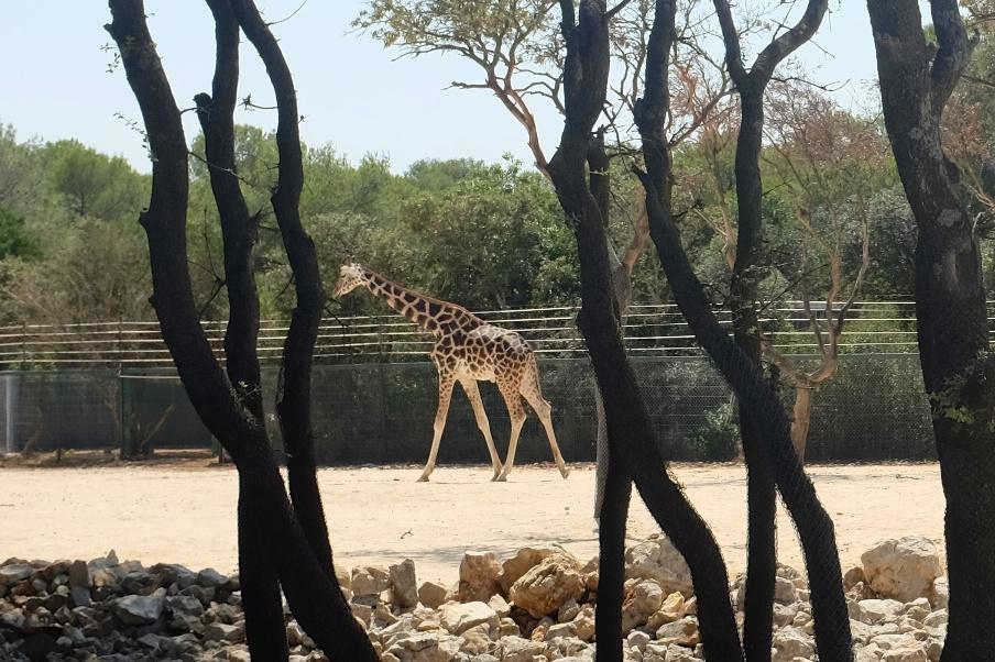 Hello Giraffe!