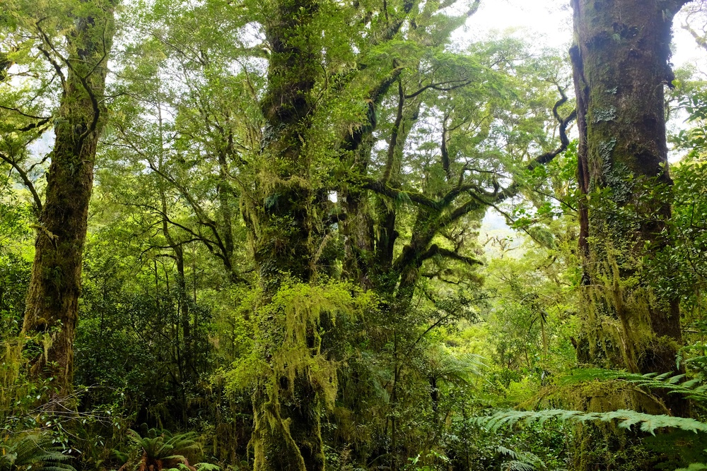 South Island Rainforests