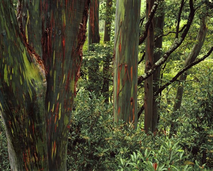 Rainbow Eucalyptus, Maui.jpg