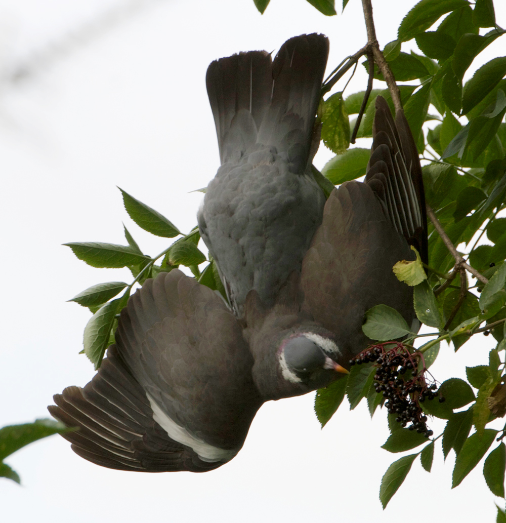 I tried out my new Nikon 70-200mm VRII camera lens in the park yesterday and was really happy with the results.  This woodpigeon kept crashing into the tree, seemingly, and then hanging upside down.  I was mystified until I saw that he was eating berries.  :)