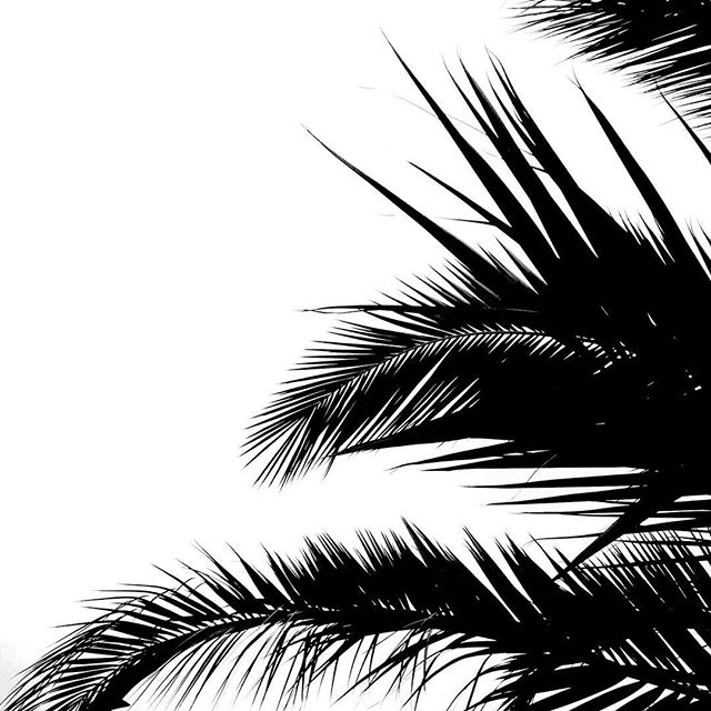 Evergreen #monochrome #palm #leaves #london #sky #black #white #autumn #fall