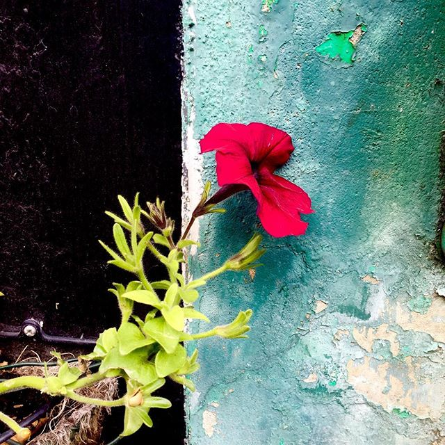 Unintended #contrast #beauty #flora #black #fuschia #teal #decay #nature #leaf #london #paint #wall