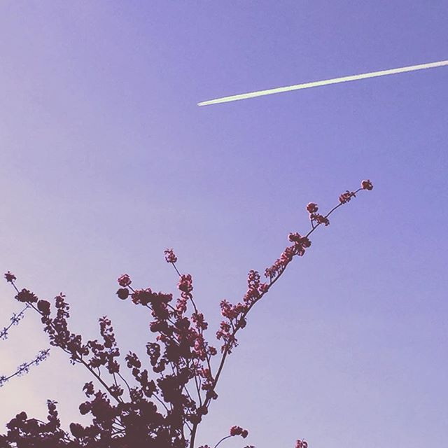 Unexpected love #lilac #sky #vaportrail #flight #petals #nature #branch #tree #dusk #plane #travel