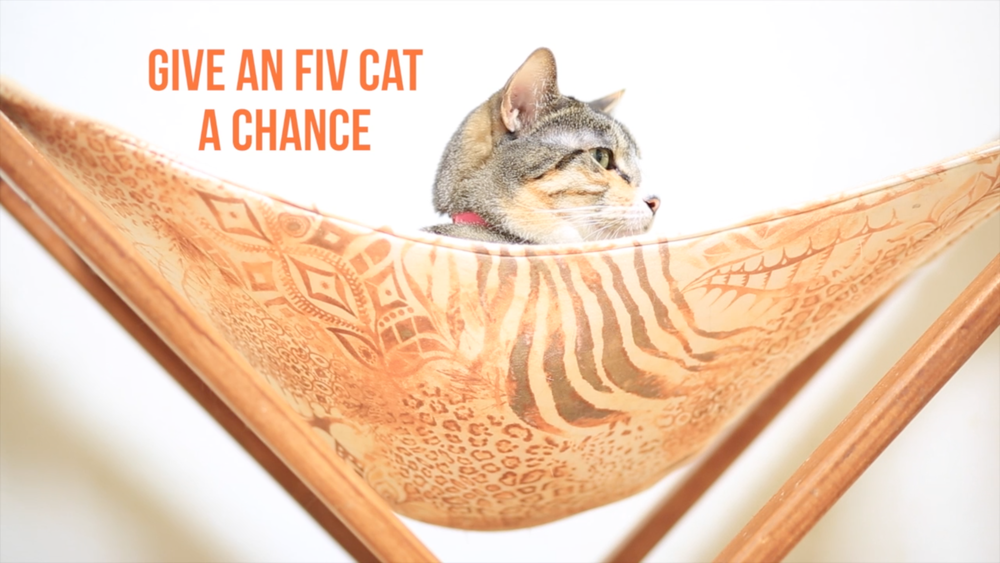 give an FIV cat a chance