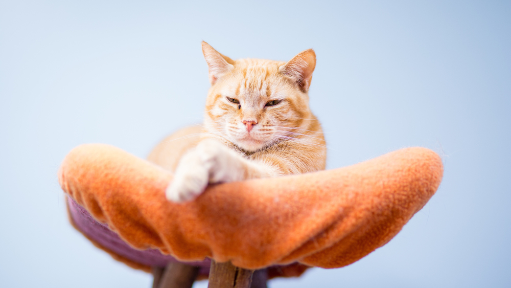 Waiting for adoption at Furkids.org, a no-kill shelter that adopts both non-FIV and FIV cats.