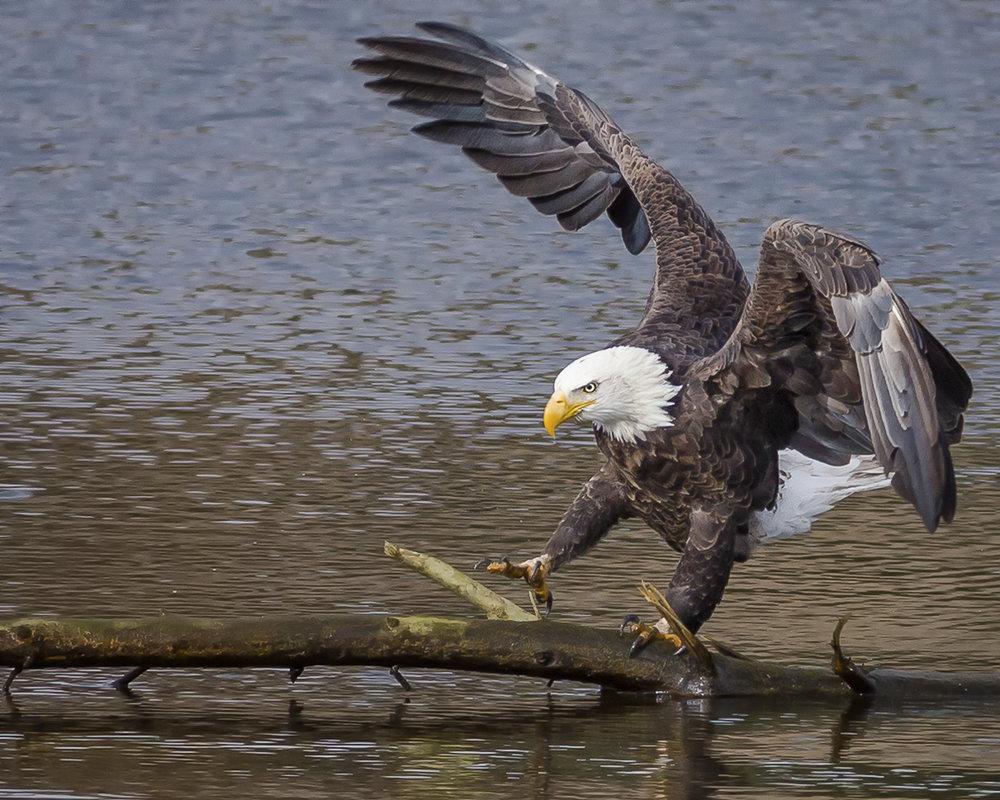 Eagle3_MG_6459.jpg