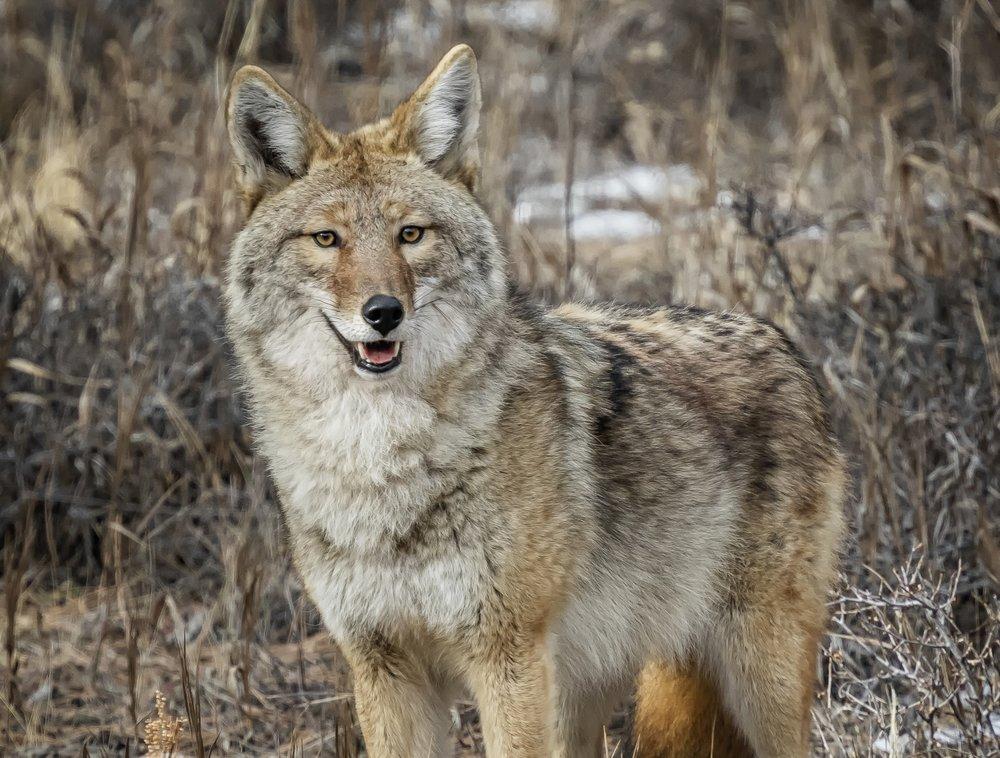 Coyote_J3A1626.jpg