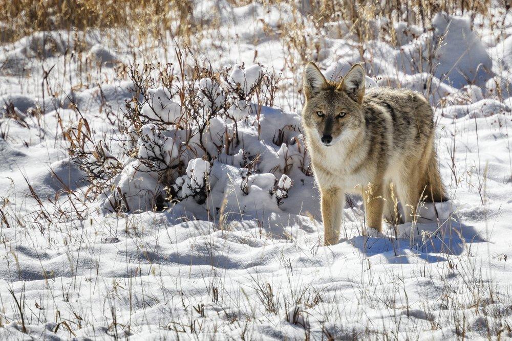 Coyote_J3A1065FB.jpg