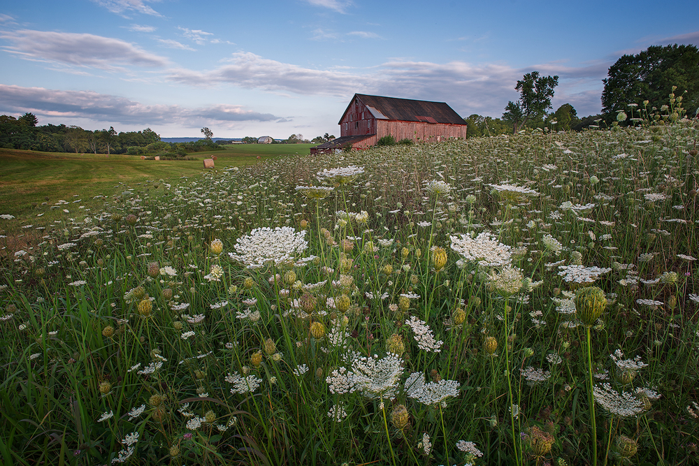 A field of Queen Anne's Lace provides a beautiful foreground to a pastoral landscape near Shepherdstown, West Virginia. (For the best viewing experience click on the image and view in Lightbox Mode)