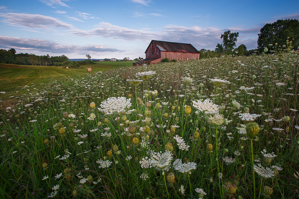 Queen Anne's Lace and old barn along Route 230 near Shepherdstown, WV.