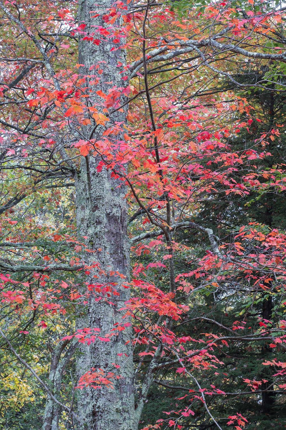 Red Maple Tapestry • Canaan Valley, WV