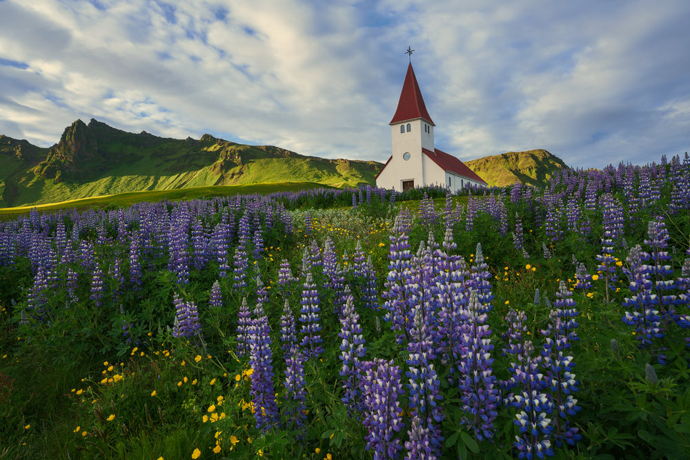 Lupines at the White Church