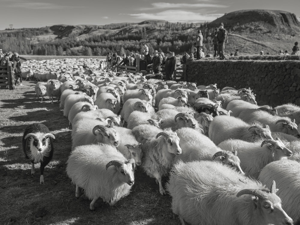 A herd of sheep running into the  réttir  site to be sorted by the farmers.