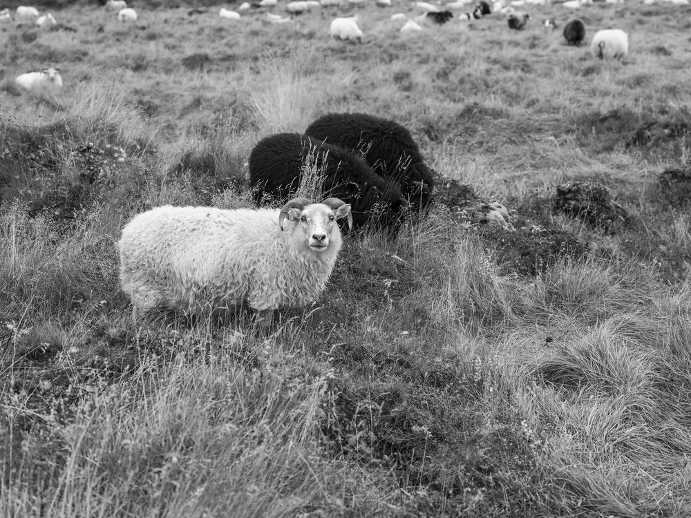 A highland fed sheep displaying the characteristic long wool coat called a  tog.