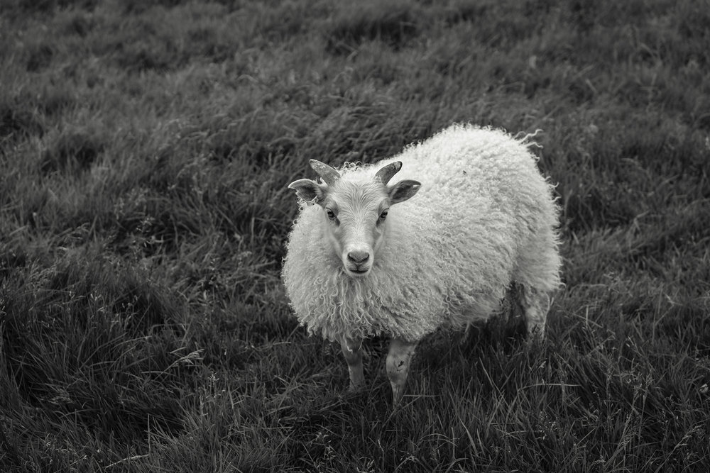 A young lamb, about 4 months old, with a very furry top coat.