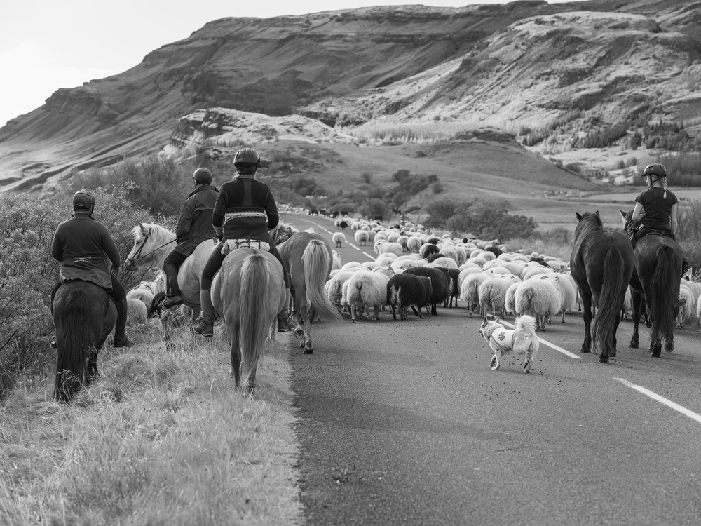 The tail end of the herd moving down Road 32. The rear vanguard includes mounted riders and an Icelandic Sheep Dog.
