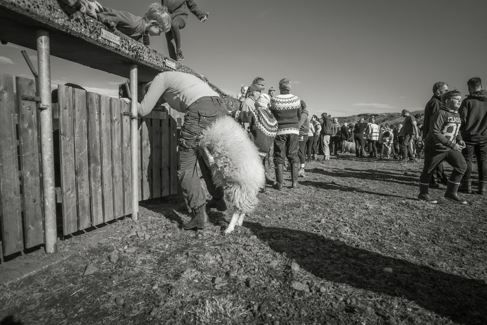 Sometimes it is not so simple to get the sheep into the farmers pen.