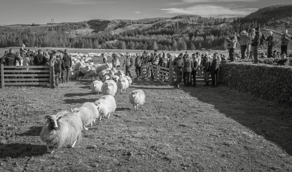 The first group of sheep rush into the sorting ring as the  réttir  begins.