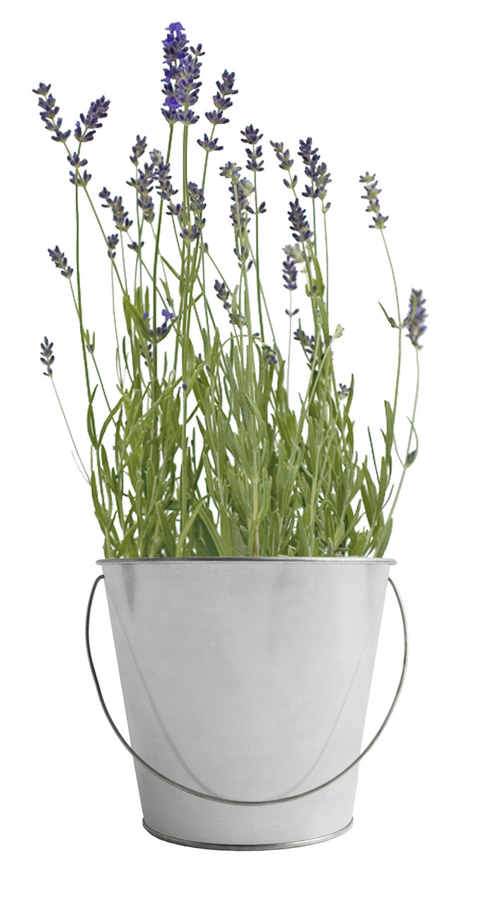 Lavender Garden In A Pail Gift