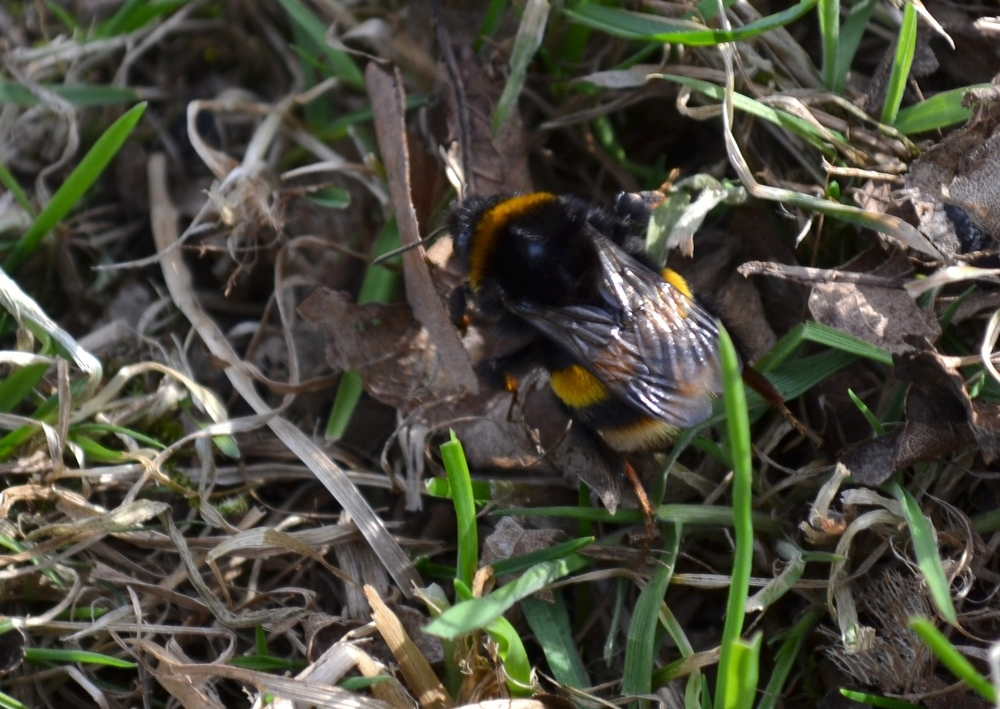 First Bumble Bee of the season, 2015