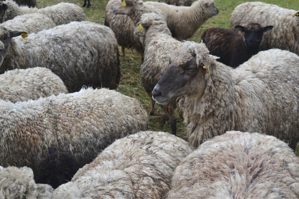 Saaremaa Sheep, 2015