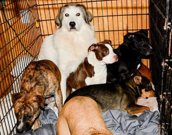 This extra large crate is left open overnight allowing some of the dogs to interact with each other and begin to form a bond.  Zara now regularly snuggles up with her buddies in the big kennel.
