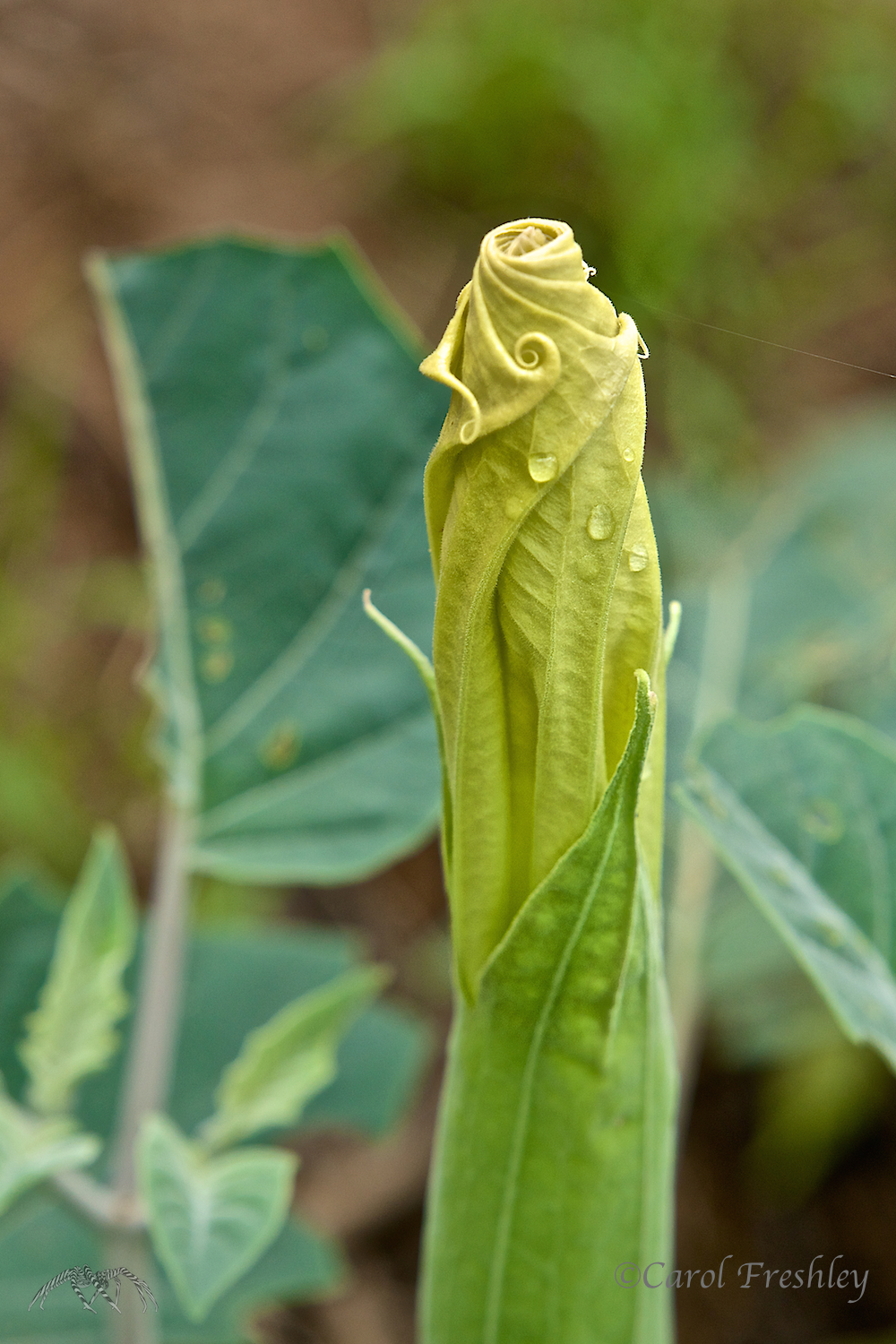 Datura thrives along this sandy path.