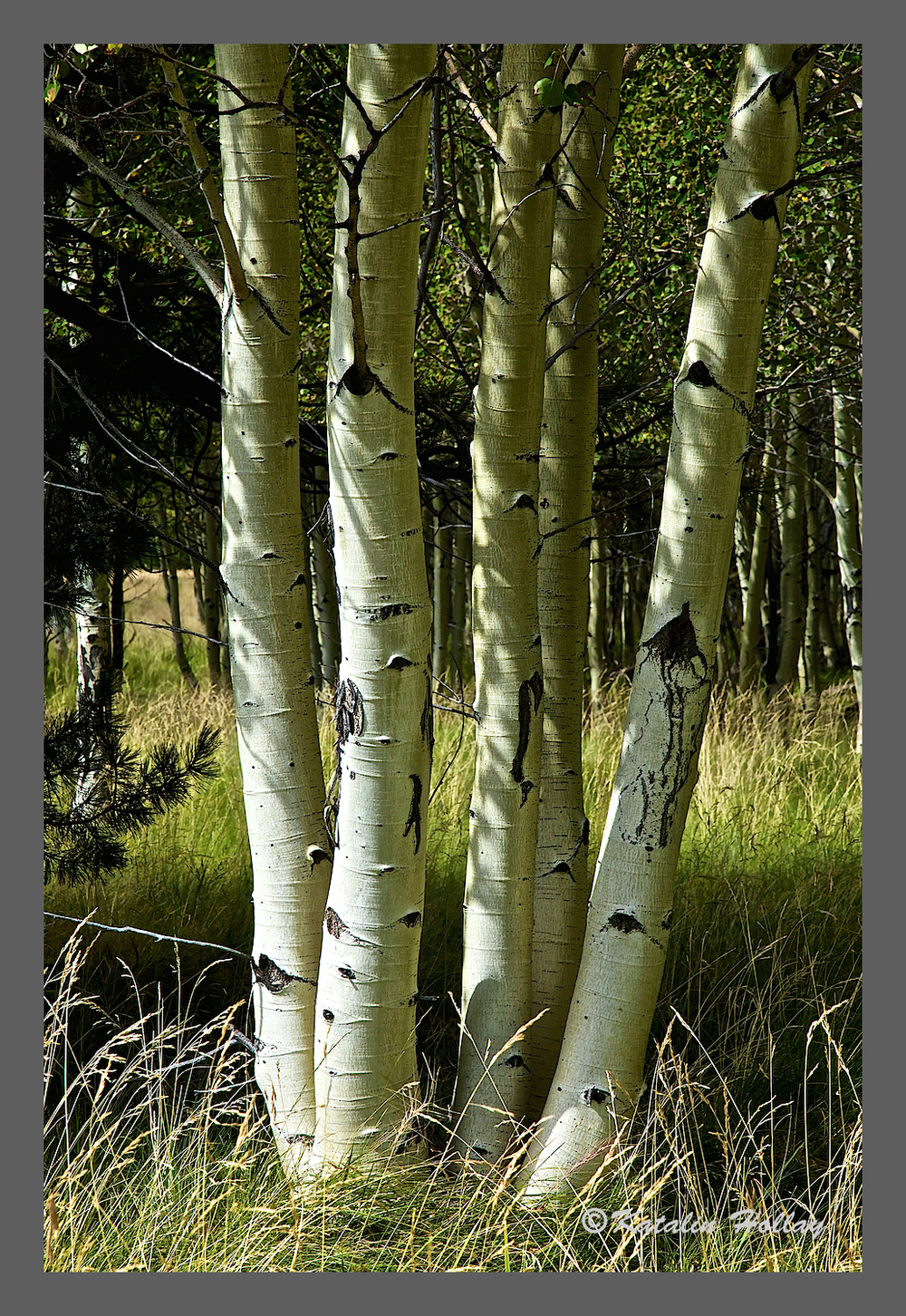 Oh, there are so many special things about aspen other than their leaves.