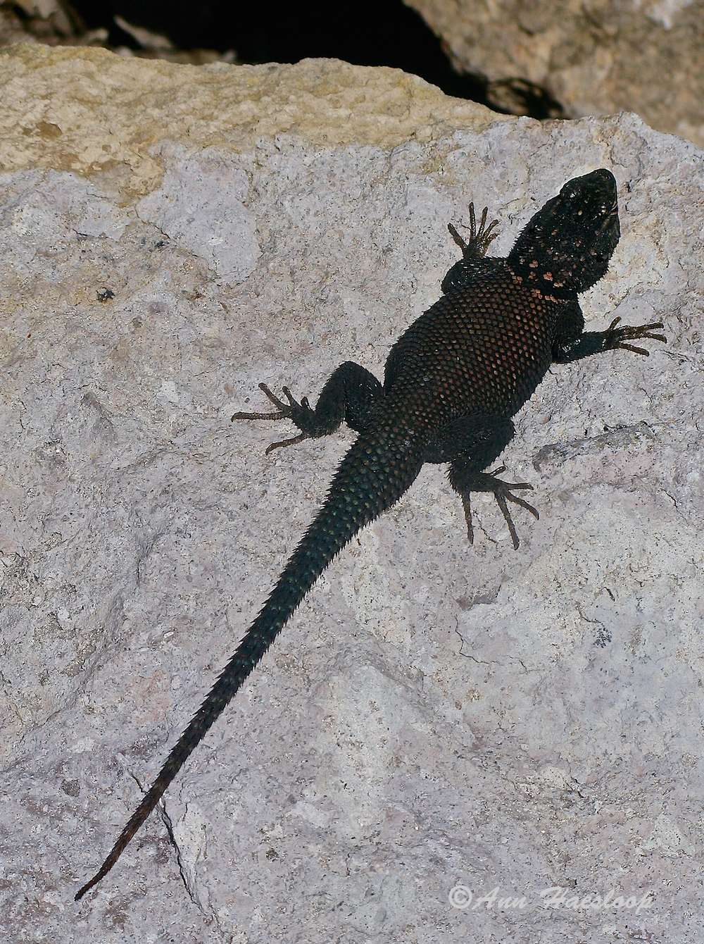 Black Spiney Lizzard (we think).