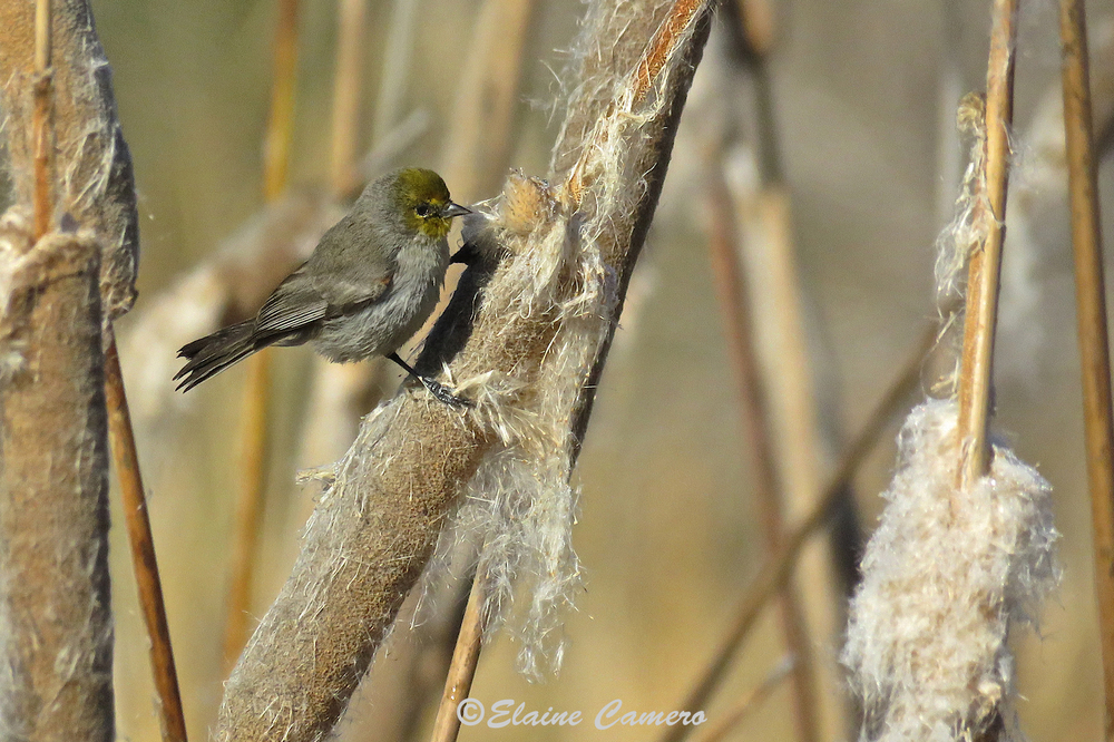 I hope you can appreciate just how tiny this bird is.  I think it must be an orange-crowned warbler but why birders call a bird that is clearly green to me to be an orange crowned . . . just saying!