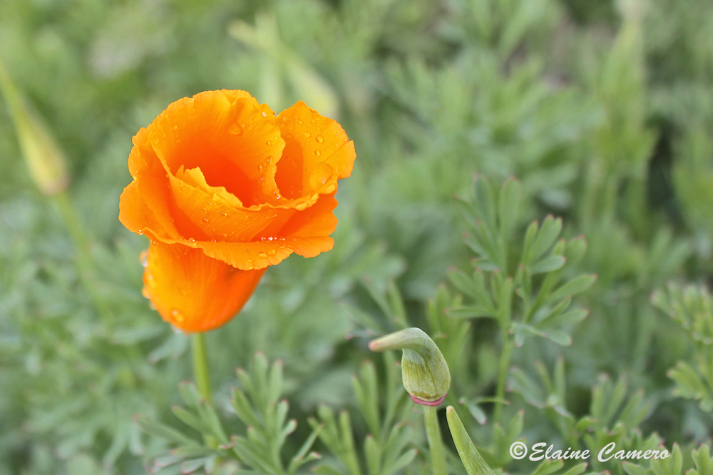 There are a few poppies in Miami, but the background is not stellar. With the rain and cold wind, only a few poppies were even open. Elaine captured a rare one!
