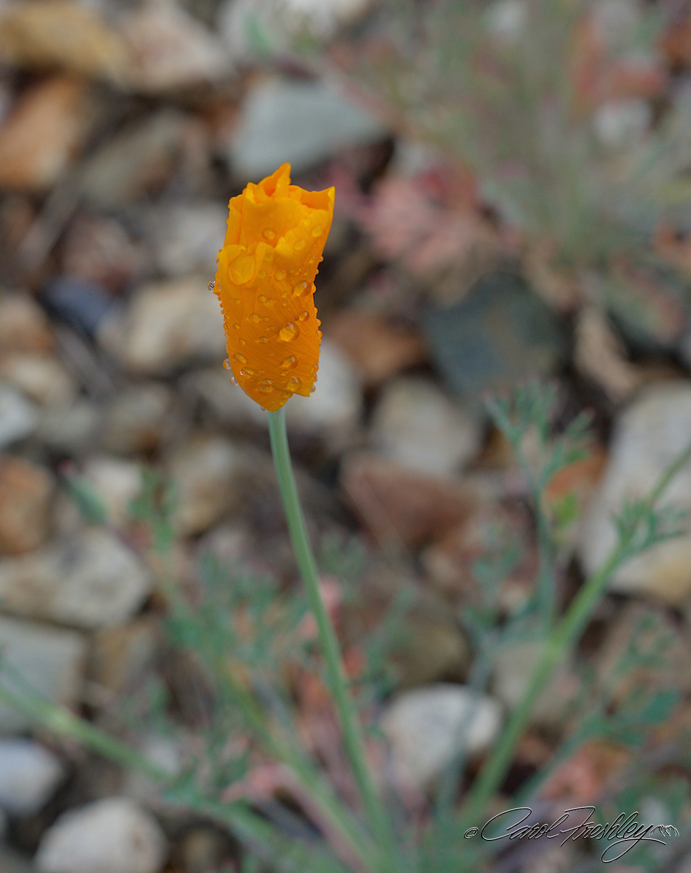 Wildflowers to Globe 29.jpg