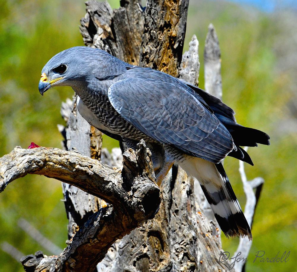 Gray Hawk.