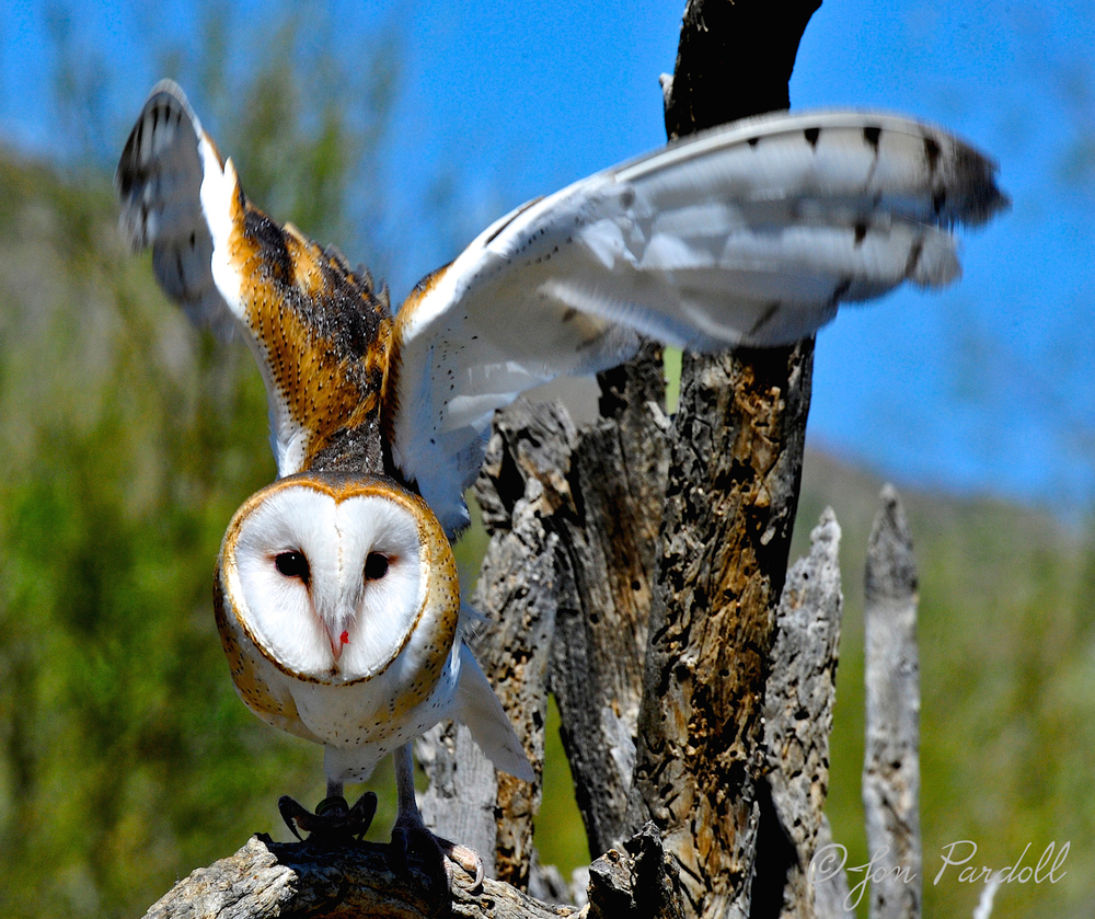 Barn Owl . . . just gorgeous.