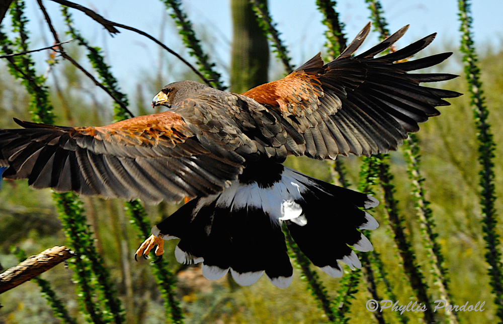 Harris Hawk . . . WOW!