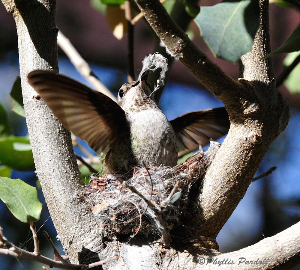 Hummer building a nest.