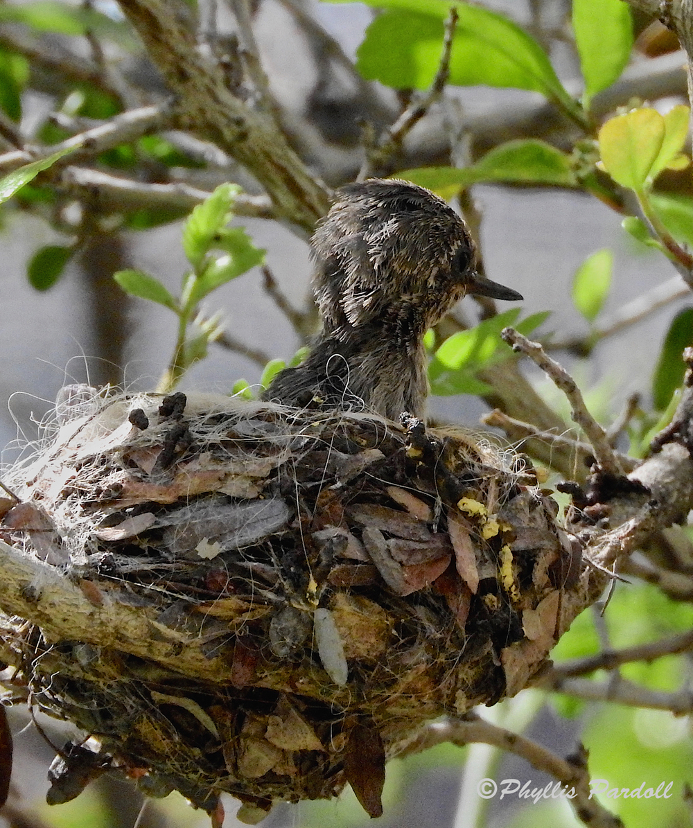 Scruffy hummer getting ready to fledge.