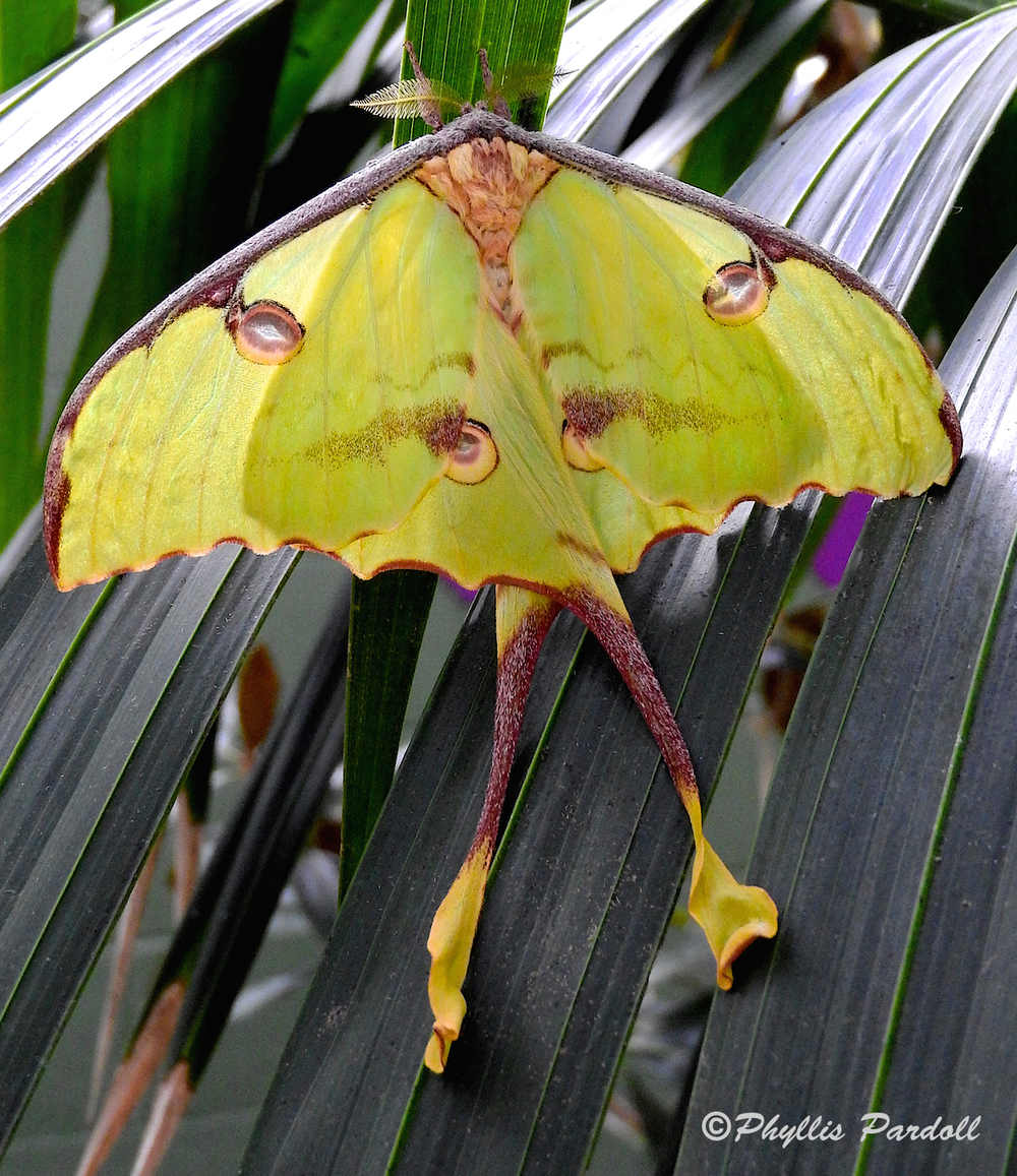 Luna Moth on Palm