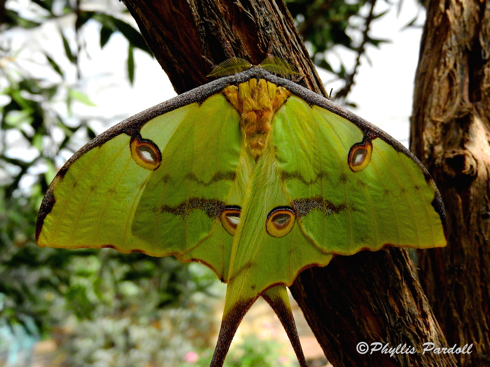 African Luna Moon Moth on tree