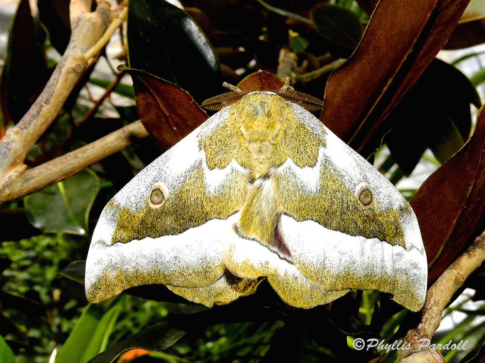 This is the moth that I am not sure what kind . . . but being a gorgeous creature is plenty enough identification.